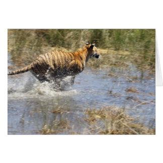 Tiger Panthera tigris running through water Greeting Cards