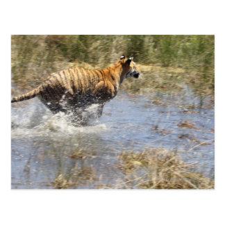 Tiger (Panthera tigris) running through water. Postcard