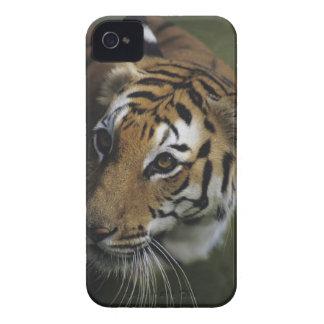 Tiger (Panthera tigris) standing, close-up of iPhone 4 Case-Mate Case