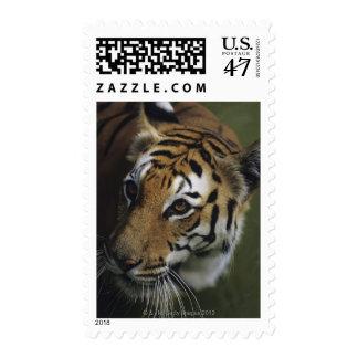 Tiger (Panthera tigris) standing, close-up of Postage Stamp