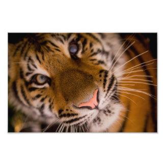 tiger photo print