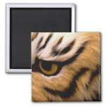 Tiger Photo Square Magnet Magnets