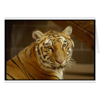 Tiger Picture Card