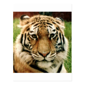 Tiger Picture Close Up Postcard