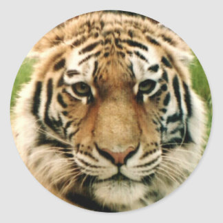 Tiger Picture Close Up Stickers