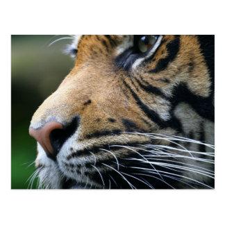 Tiger Picture Postcard