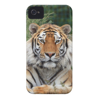 Tiger portrait beautiful close-up photo, gift iPhone 4 covers