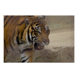 tiger poster print