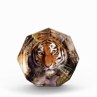 Tiger Predator Lurking Fur Beautiful Dangerous Award