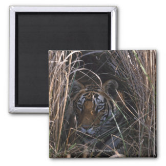 Tiger Reclines in Tall Grass 2 Inch Square Magnet