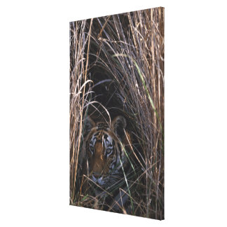 Tiger Reclines in Tall Grass Canvas Print