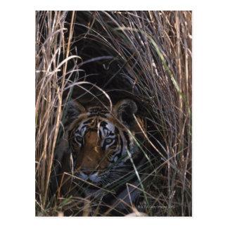 Tiger Reclines in Tall Grass Postcard