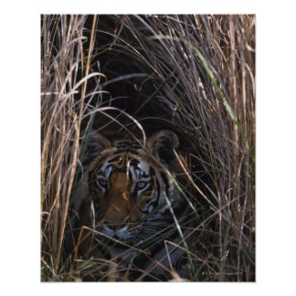 Tiger Reclines in Tall Grass Poster