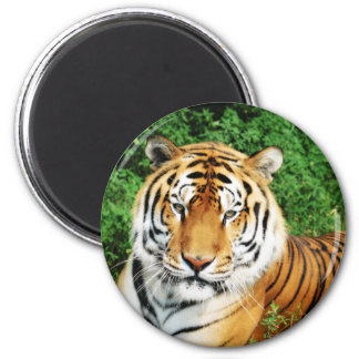 Tiger Relaxing Magnet