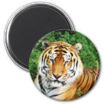 Tiger Relaxing Refrigerator Magnets