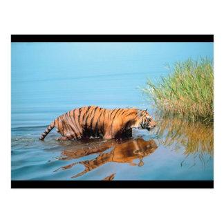 Tiger River Walk Postcard