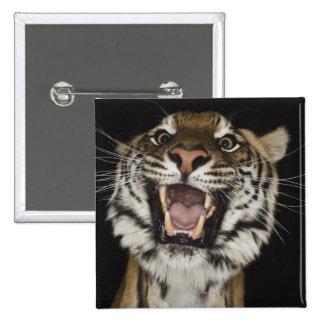 Tiger roaring 2 pinback button