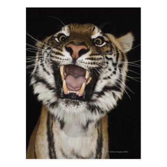 Tiger roaring 2 postcard