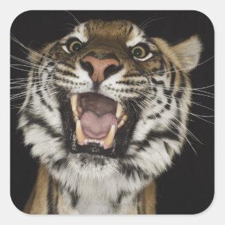 Tiger roaring 2 square sticker