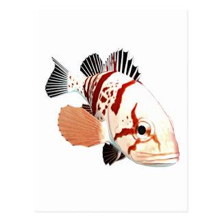 Tiger Rockfish Postcard
