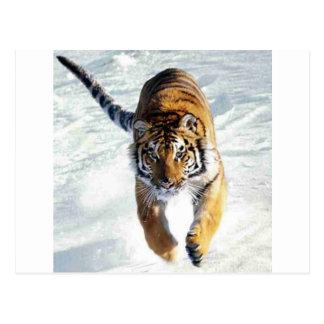 Tiger running in snow postcard