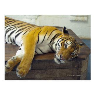 Tiger, Samui, Thailand Postcard