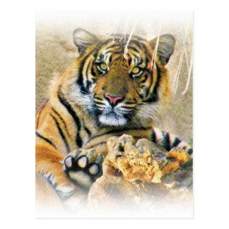 Tiger,Seeking_ Postcard