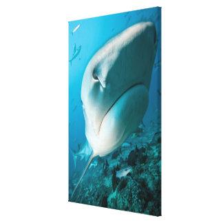 Tiger shark (Galeocerdo cuvier) Shark feed Canvas Print