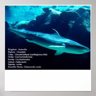 Tiger Shark, scientifc name Poster