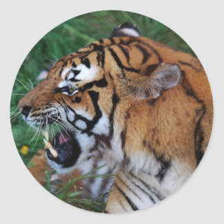 Tiger showing its fangs classic round sticker