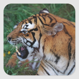 Tiger showing its fangs square sticker