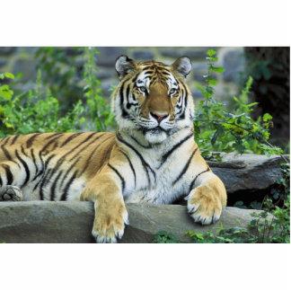 Tiger, Siberian Acrylic Cut Out