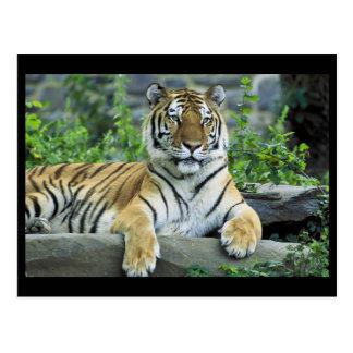 Tiger, Siberian Postcard