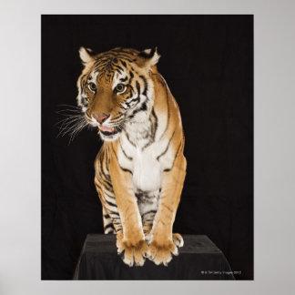 Tiger sitting on platform 2 poster