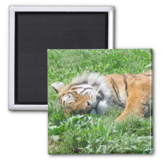 Tiger sleeping 2 inch square magnet