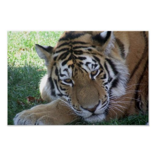 Tiger-sleeping-in-the-grass WILD ANIMALS BIG CATS Poster