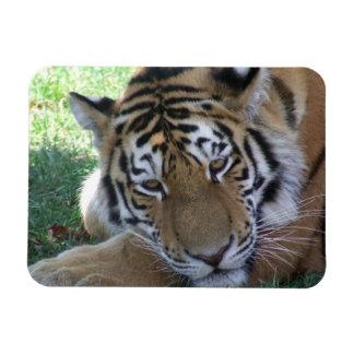 Tiger-sleeping-in-the-grass WILD ANIMALS BIG CATS Rectangular Photo Magnet