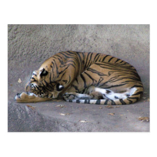 Tiger Snooze Postcard