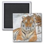 Tiger Snow Magnet