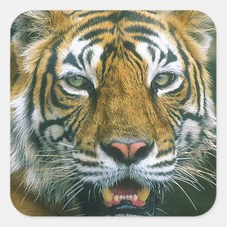 Tiger Square Sticker