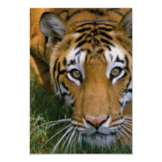Tiger Stalking Card