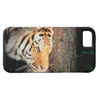 Tiger stalking iPhone SE/5/5s case