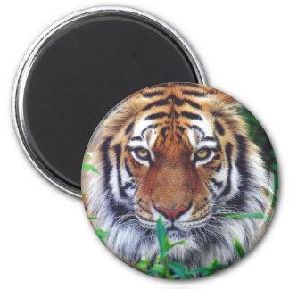 Tiger Stare Magnet