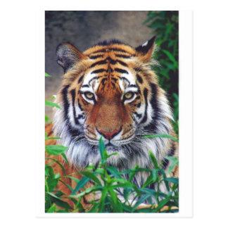 Tiger Stare Postcard