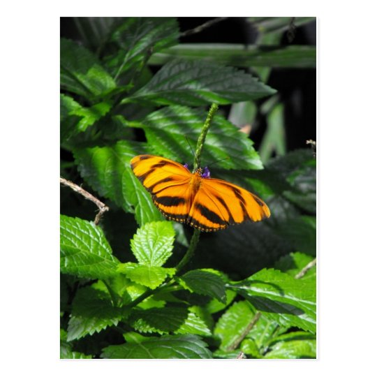 Tiger Striped Longwing Butterfly Postcard
