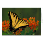 Tiger Swallowtail Butterfly Greeting Cards