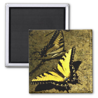 Tiger Swallowtail Butterfly Refrigerator Magnet