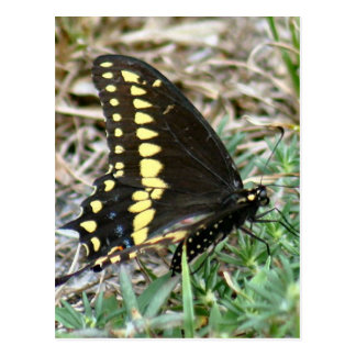 Tiger Swallowtail Butterfly Photo Postcard