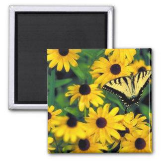 Tiger swallowtail on Black-eyed susan Magnets