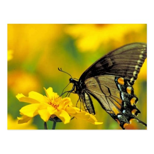 Tiger swallowtail on Lance-leaf coreopsis Postcard